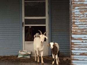 Goats in da House - Texas 2015