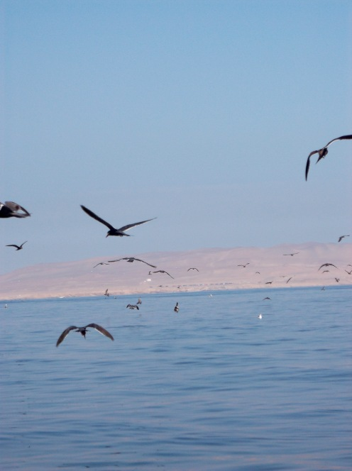 Just off the dock in Paracas, sea birds are everywhere.