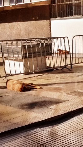 Street dogs - a huge problem in the city.