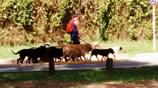 """I saw one dog walker with at least 15 """"clients."""""""