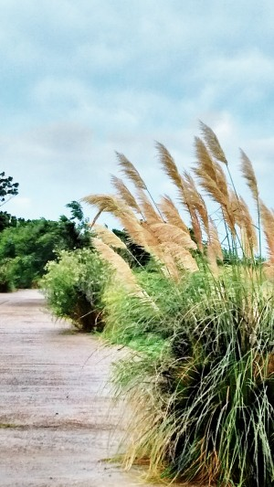 These Pampas Grass plants were mostly horizontal from the wind.