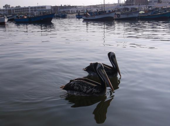 Paracas Pelicans